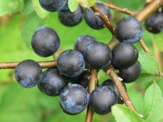 Sloes, clustered on branch
