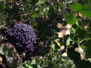 Purple-sprouting broccoli