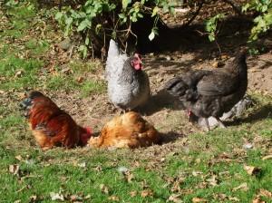 Ballymaloe chickens
